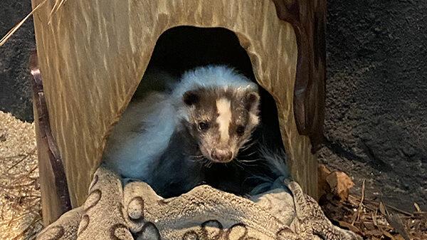 skunk sits in sleeping log